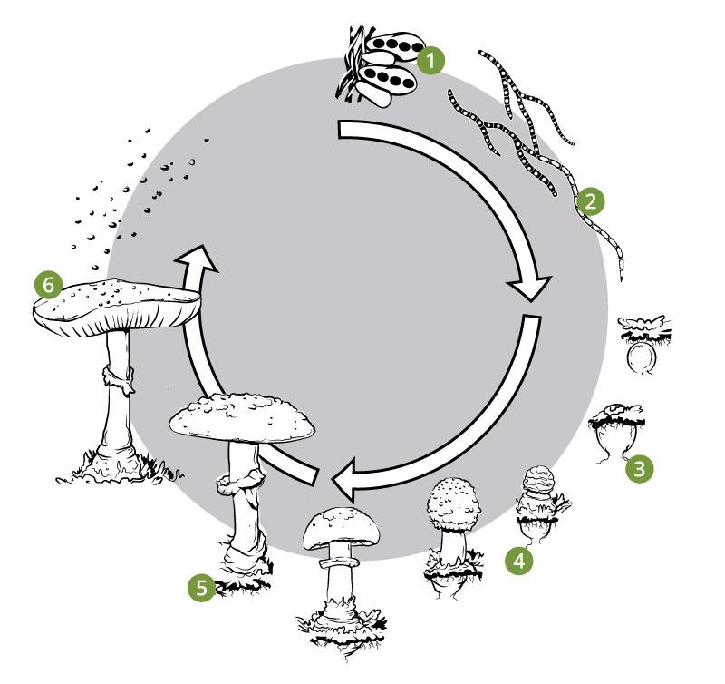 Mushroom lifecycle