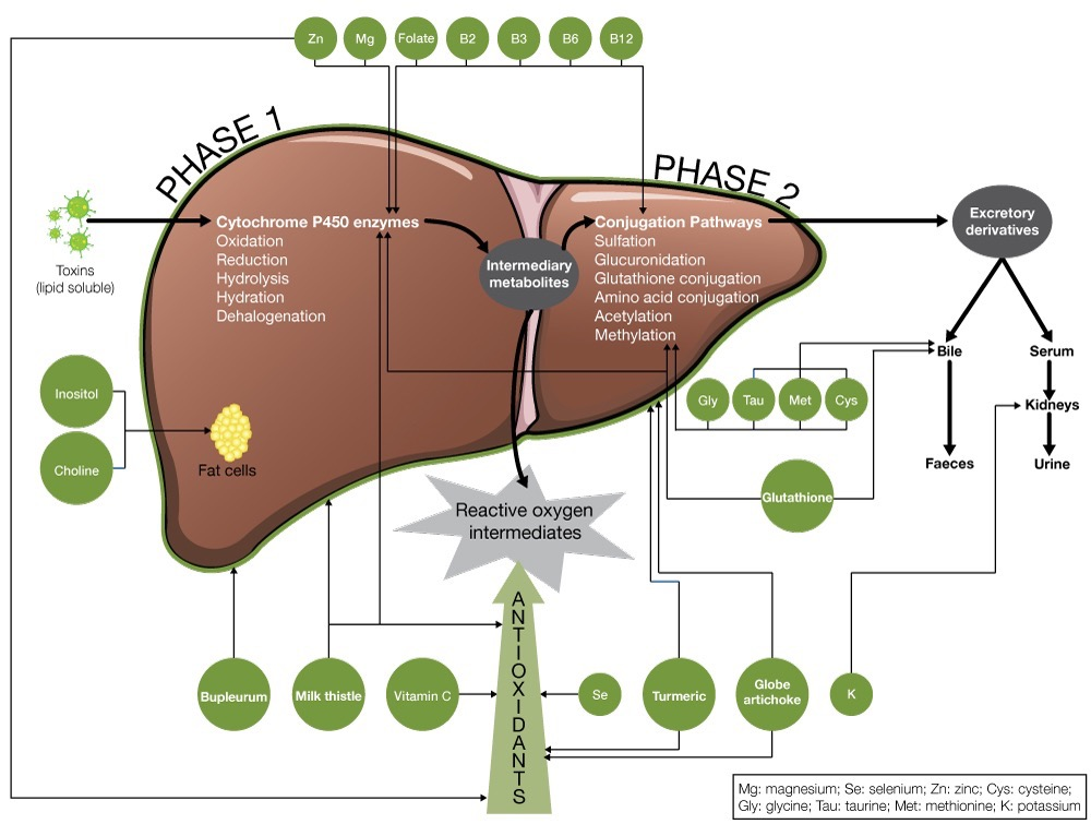 Organs of detoxification fx medicine phase 1 detoxification ccuart Image collections