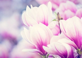 Beautiful pink and white magnolia flowers blooming