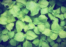 Perilla: a key herb for allergies